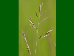 Creeping Red Fescue 50g - FREE POST